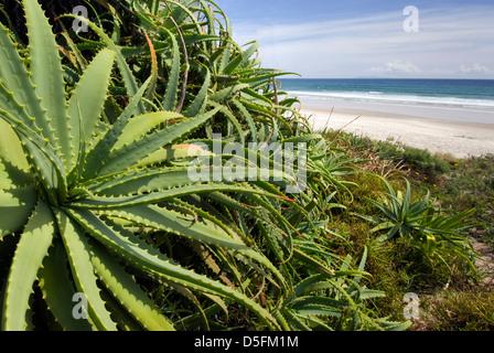 Aloe Vera Wildpflanze am Strand, Nordinsel, Neuseeland Stockfoto