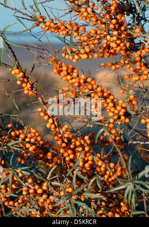 Sanddorn Hippophae Rhamnoides (Eleagnaceae) - Stockfoto