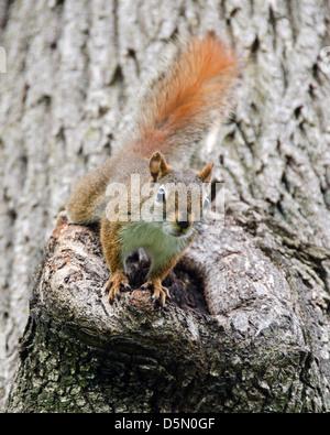 Ein Eichhörnchen Schelte der Fotograf. - Stockfoto