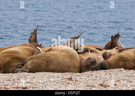 Walross Haul-Out, Odobenus Rosmarus, Torelineset, Svalbard-Archipel, Norwegen - Stockfoto