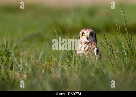 Short-eared Eule Asio Flammeus (captive) thront in Rasen am Schloss Caereinion, Wales im April. - Stockfoto