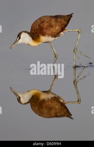 Afrikanische Jacana Actophilornis Africana mit Reflexion am See Awassa, Äthiopien im Februar. - Stockfoto