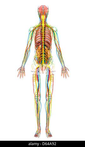 Anatomie Stockfoto, Bild: 68400216 - Alamy