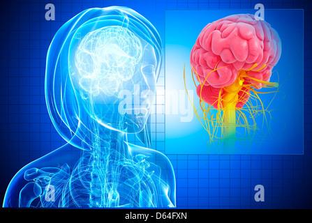 Weibliche Gehirn, artwork - Stockfoto