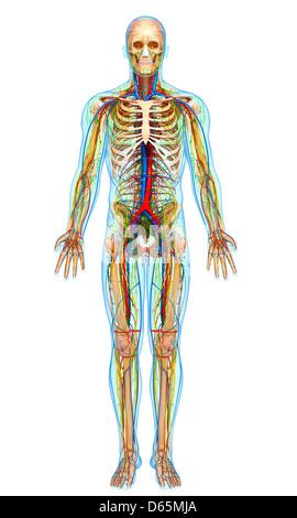 Menschliche Anatomie, artwork Stockfoto, Bild: 55442606 - Alamy