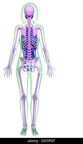 Darstellung des weiblichen Beckens Anatomie Stockfoto, Bild ...
