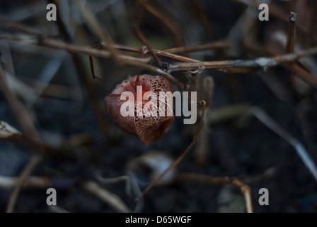 Eine chinesische Laterne, Physalis Alkekengi, Physalis Franchetii im winter - Stockfoto