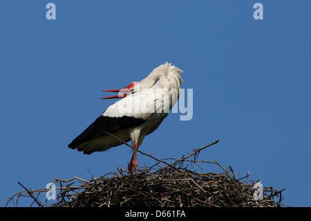 Weißstorch anzeigen Nest - Stockfoto