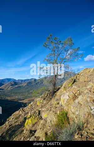Einzigen Kiefer an der Seite einer Klippe im Sequoia National Forest - Stockfoto