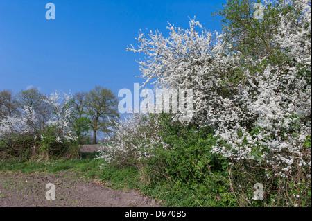 blühende Hecke Schlehe (Prunus Spinosa), Oldenburger Münsterland, Niedersachsen, Deutschland - Stockfoto