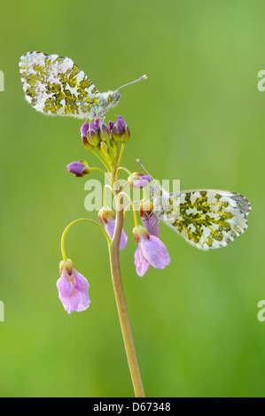 Orange Spitze, Anthocharis cardamines - Stockfoto