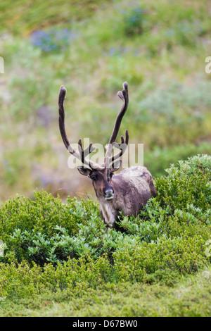 Woodland Caribou (Rangifer Tarandu) in der Nähe von Autobahn-Pass, Denali National Park, Alaska, USA - Stockfoto