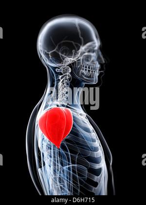 Der Musculus deltoideus Stockfoto, Bild: 13234518 - Alamy