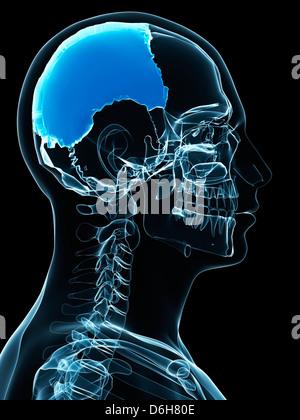 Menschlichen parietalen (Schädel) Knochen, Abbildung Stockfoto, Bild ...