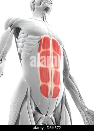 Rectus Abdominis - Bauchmuskeln - Anatomie Muskeln isoliert auf ...
