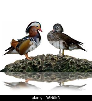 Männliche und weibliche Mandarinenten (Aix Galericulata) Stockfoto