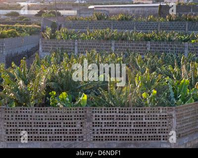 Bananenplantage in Teneriffa-Kanarische Inseln-Spanien, eingezäunt von Betonsteinen - Stockfoto