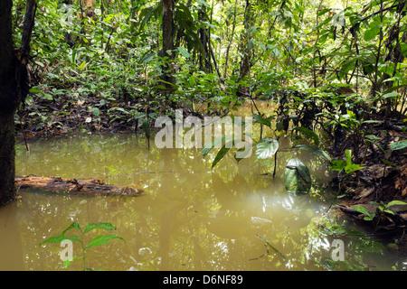 Überfluteten Pool im ecuadorianischen Amazonas-Regenwald - Stockfoto
