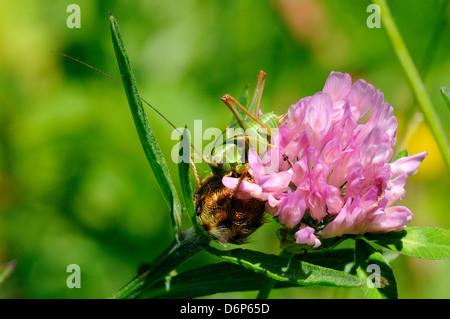 Unreife weibliche großen grünen Busch Cricket (Tettigonia Viridissima) und Klee Blume, Hecho-Tal, Spanische Pyrenäen, - Stockfoto