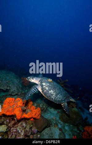 Echte Karettschildkröte (Eretmochelys) mit einer Tracking-Gerät auf den Rücken, Dominica, West Indies, Karibik, - Stockfoto