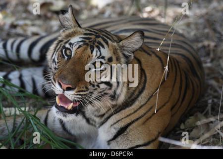 Bengal Tiger, Panthera Tigris Tigris, Bandhavgarh Nationalpark, Madhya Pradesh, Indien - Stockfoto