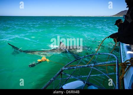 Crew senkt metal Shark Cage mit diver Neben neugierig great white shark, Carcharodon carcharias, in Ganis Bay Südafrika - Stockfoto