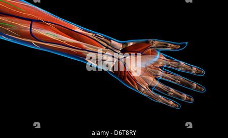 Weibliche Palmen und Handgelenk, Ansicht von ventral. Nahaufnahme ...