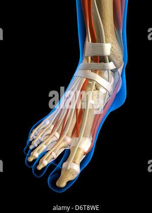 Vordere Ansicht x-ray weibliche Knöchel Fuß Knochen Muskeln Bänder ...