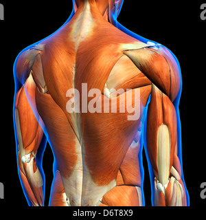 Männliche Obere Rückenmuskulatur Anatomie in blau Röntgen Umriss Full Color 3D Computer generierte Abbildung auf - Stockfoto