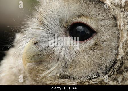 Ural Owl (Strix Uralensis) Küken, Nahaufnahme des Kopfes (Captive) - Stockfoto