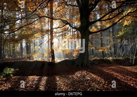 Gemeinsamen Buche (Fagus Sylvatica) Gewohnheit, Hintergrundbeleuchtung in Wald Lebensraum, Marsham Woods, Norfolk, - Stockfoto