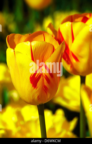 Tulpen in einem Garten, Chicago, Cook County, Illinois, USA - Stockfoto