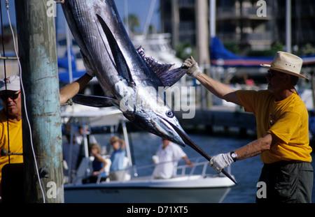 Eine atlantische blaue Marlin (Makaira Nigricans) gewogen und gemessen, während eines Turniers in Port Aransas Texas - Stockfoto