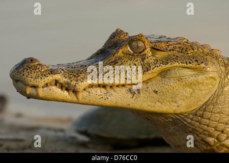 Brillentragende Kaiman (Caiman, Crocodilus), Hato El Cedral, Venezuela. - Stockfoto