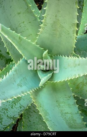 Aloe Vera Stockfoto
