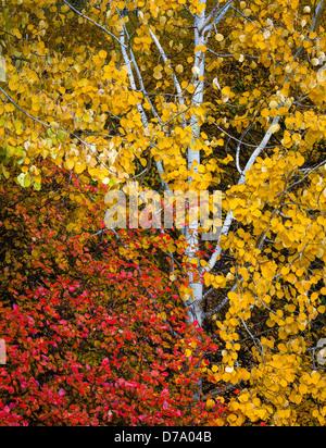 Nationalwald Wenatchee, Washington: Wald-Detail der bunten Herbstlaub und weißen aspen trunks - Stockfoto