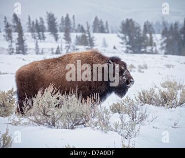 Yellowstone Nationalpark, WY: American Bison bedeckt mit Morgen Frost in das Lamar Valley, Winter - Stockfoto