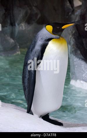 Königspinguin in seinem natürlichen bewohnt. - Stockfoto
