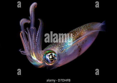 Bigfin Riff Tintenfisch, Sepioteuthis Lessoniana, Dumaguete, Negros, Philippinen - Stockfoto