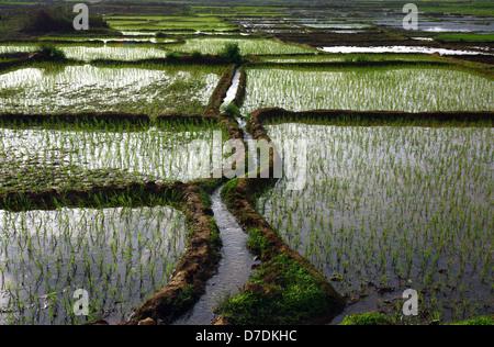 Reisfelder mit Wasser und Bewässerung-Kanal - Stockfoto