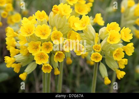 Schlüsselblume Primula veris - Stockfoto