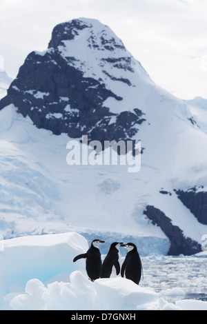 Zügelpinguinen (Pygoscelis Antarcticus) Penguin Cierva Bucht, Antarktis. - Stockfoto