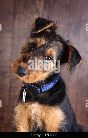 Nahaufnahme von einem 8 Wochen alten kleinen Airedale Terrier Welpen Hund, betteln - Stockfoto