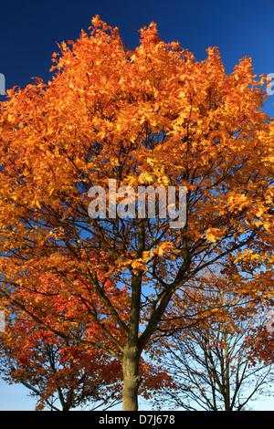 Ahornbaum Blätter in Herbstfärbung, (Acer Platanoides) - Stockfoto