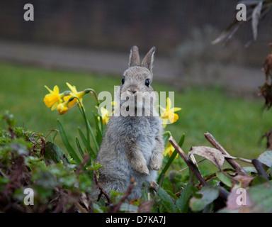 Juvenile Kaninchen im Garten - Stockfoto