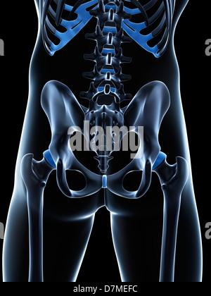 Männlichen Beckens Knochen, artwork - Stockfoto