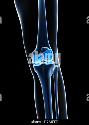 Knie Knochen, artwork Stockfoto, Bild: 56384147 - Alamy