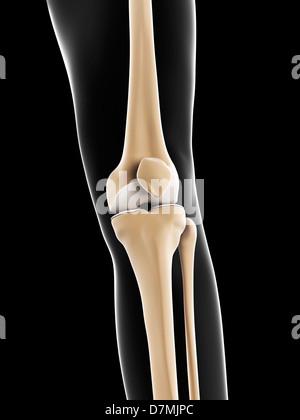 Knie Knochen, artwork Stockfoto, Bild: 56383663 - Alamy