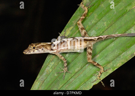 Viele skaliert Anole (Norops Polylepis) in Corcovado Nationalpark, Costa Rica - Stockfoto