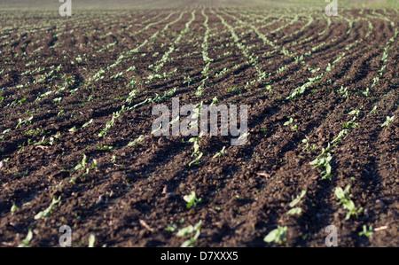 Pflanzen in fruchtbaren Boden gepflanzt bekommen unter der Sonne schnell reif - Stockfoto